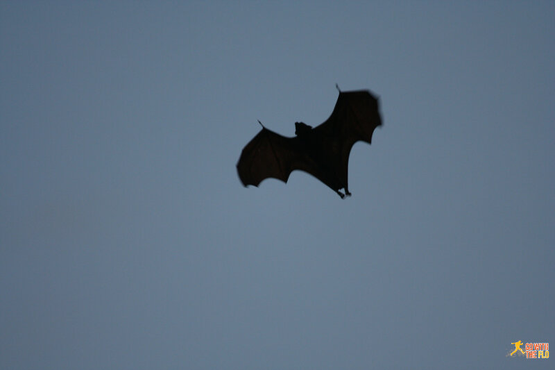 That's one of the flying foxes flying past us.