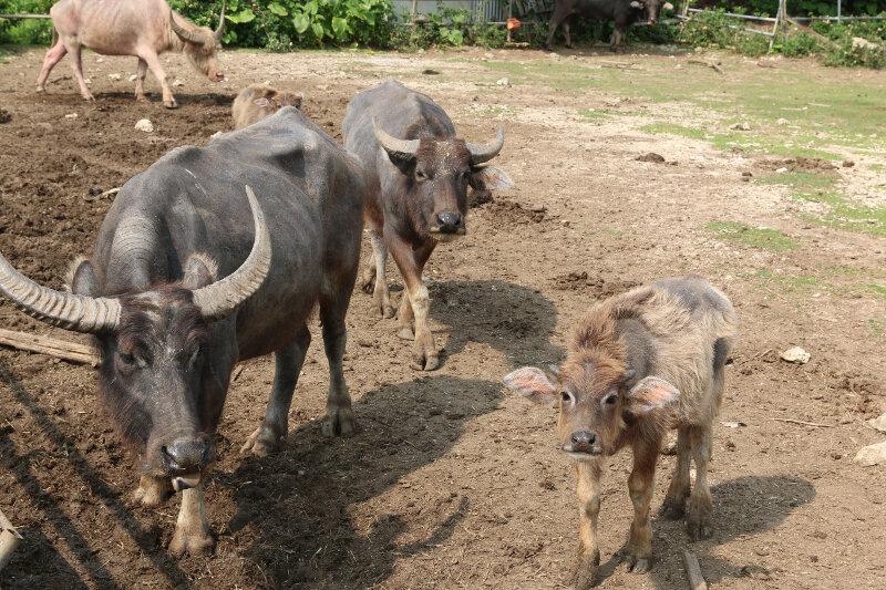 Lots of buffalo on Taketomi