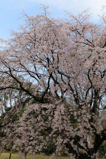 Cherry blossom at Rikugi-en